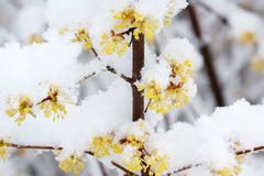 Snowed cornel flowers Stock Photos