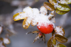 Snowed dog-rose Stock Photo
