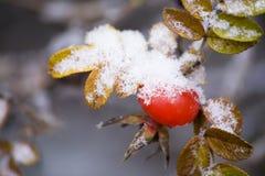 Snowed dog-rose Stock Photo
