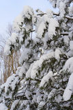 Snowed fir-tree branch Stock Photo