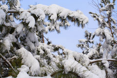 Snowed fir-tree branch Royalty Free Stock Photo