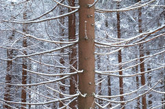 Snowed forest Royalty Free Stock Photos