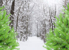 Snowed forest with evergreen trees Royalty Free Stock Images