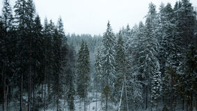 Snowed forest Stock Images