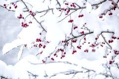 Snowed głogowe jagody Fotografia Royalty Free