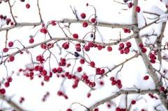 Snowed głogowe jagody Obrazy Royalty Free
