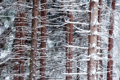 Snowed pine tree trunks Royalty Free Stock Photo