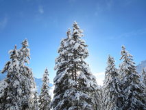 Snowed Pine Trees Against Blue Sky and Mountains Royalty Free Stock Images