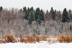 Snowed spruce forest edge Royalty Free Stock Photos