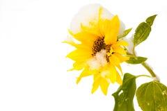Snowed-on sunflower Stock Photo
