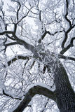 Snowed Tree. A beautiful snowed tree with black branches going to the top of picture Stock Photo