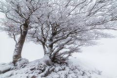 Snowed tree in a foggy winter day in Urbasa Royalty Free Stock Images