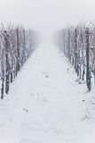 Snowed vineyards in the fog royalty free stock photo