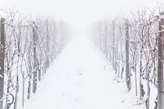 Snowed vineyards in the fog Stock Image
