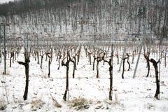 Snowed vineyards Stock Photo