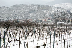 Snowed vineyards Royalty Free Stock Photos