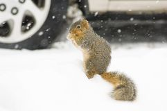 snowekorre arkivfoto