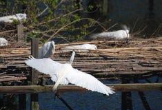 Snowey ägretthäger, med utsträckta vingar, omkring att landa Arkivfoton