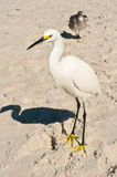 Snowey Egret on a Tropical beach Royalty Free Stock Photo