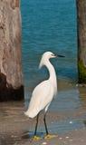 Snowey Egret walking Royalty Free Stock Image