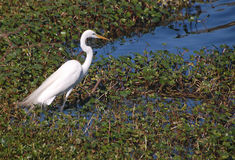 A Snowey Egret Watching For Fish Stock Images