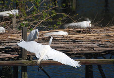 Snowey Egret, With Wings Outstretched, About to Land Stock Photos