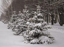snowfall Abeti innevati di inverno La Russia Fotografia Stock