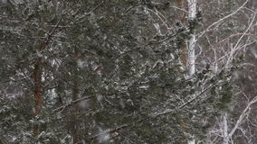 Snowfall amid the pines. stock video footage