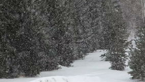Snowfall amid the pines. stock video