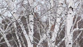 Snowfall amid trunks of birch stock video