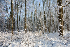 Snowfall in bare forest. With sunlight shining through the trees stock photo