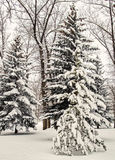 Snowfall in Canadian Town Park. Spruce trees after heavy snowfall in small town park in the Canadian Foothills of the Rock Mountains Royalty Free Stock Image