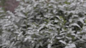 Snowfall in the city. Green bushes in the snow. stock footage