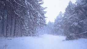Snowfall in coniferous forest, snow falling from trees, the wind stock video
