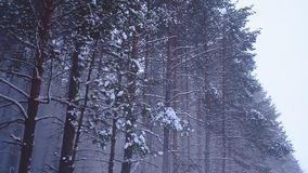 Snowfall in coniferous forest, snow falling from trees wind,a fabulous winter forest at night stock footage