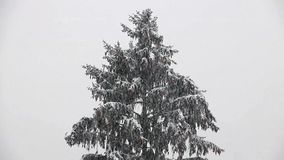 Snowfall with conifers. stock video