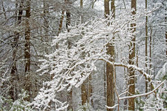 Snowfall covers a forest in the Smokies. Royalty Free Stock Images