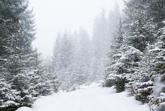 Snowfall in dense snowy fir forest on the road stock photography