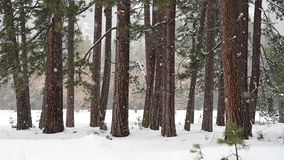 Snowfall At The Edge of Forest. In Yosemite Valley stock footage