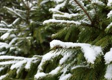 Snowfall on ever green plant in winter. Green tree oute with snowfall on the branches during winter time royalty free stock images