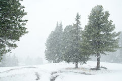 Snowfall in evergreen forest Stock Photography
