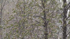 Snowfall on the foliage of the trees stock footage