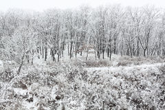 Snowfall in forest Stock Image