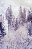 Snowfall in the forest Royalty Free Stock Photo