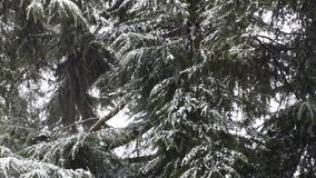 Snowfall in the forest park. Winter landscape in snow-covered park. stock video