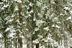 Snowfall in the forest Royalty Free Stock Photos