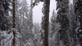 Snowfall in the forest. Snowfall in the pine forest stock video