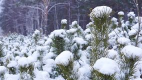 Snowfall in the forest. Winter scene. Pinetree stock video
