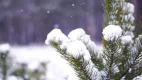 Snowfall in the forest. Winter scene. Pinetree stock footage