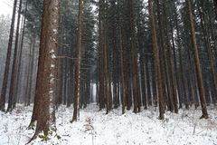 Snowfall in the forest in winter Royalty Free Stock Photography